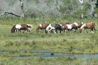 Kory Aversa Horses Assateague Chincoteague 2