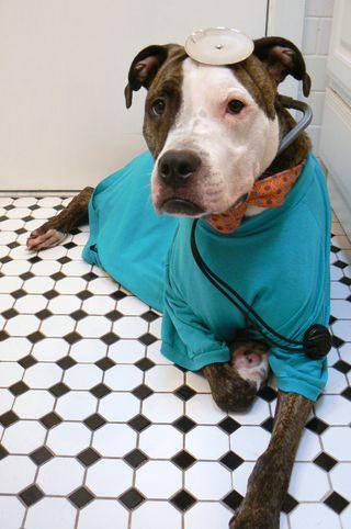 Kory Aversa Pit Bull Buster Brown Shelter Dog