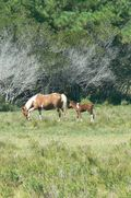 Kory Aversa Horses Assateague Chincoteague