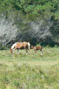 Kory Aversa Horses Assateague Chincoteague